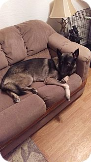 Husky/German Shepherd Dog Mix Puppy for adoption in Baltimore, Maryland - Zeus (COURTESY POST)
