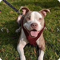 Pit Bull Terrier Mix Dog for adoption in Baltimore, Maryland - Cardi (COURTESY POST)