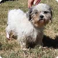 Shih Tzu Mix Dog for adoption in Poughkeepsie, New York - Brie
