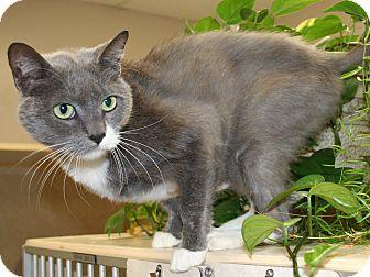 Domestic Shorthair Cat for adoption in Salisbury, North Carolina - Ivy