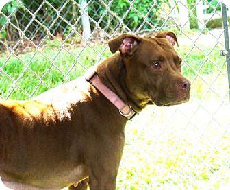Pit Bull Terrier Mix Dog for adoption in Lakeland, Florida - Kamora