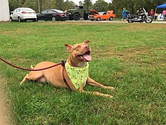Terrier (Unknown Type, Medium)/American Pit Bull Terrier Mix Dog for adoption in New Lisbon, New Jersey - Kendra