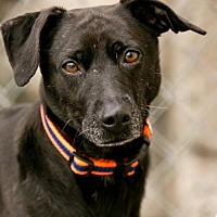 Adopt A Pet :: MIDNIGHT - Roanoke, VA