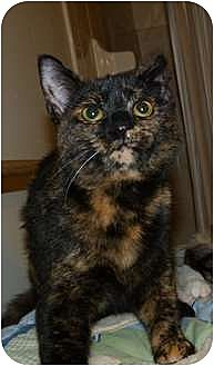 Domestic Shorthair Cat for adoption in Stafford, Virginia - Krinkle