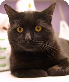 Domestic Longhair Cat for adoption in Medford, Massachusetts - Monty