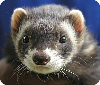 Ferret for adoption in Hazel Park, Michigan - Ferret