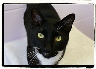 Domestic Shorthair Cat for adoption in Elmwood Park, New Jersey - Dante