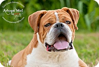 english bulldog rescue va rupert adoption pending adopted dog 2033 virginia 1045