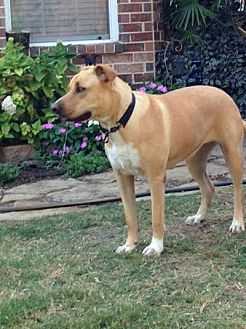 Labrador Retriever Mix Dog for adoption in Denton, Texas - Libby II