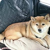 Adopt A Pet :: Mochi - Manassas, VA