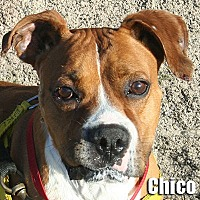 Adopt A Pet :: Chico - Encino, CA