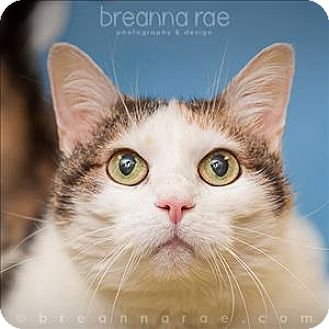 Domestic Shorthair Cat for adoption in Sheboygan, Wisconsin - Katy