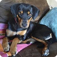 Adopt A Pet :: Maizy - Avon, NY