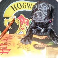 Adopt A Pet :: Zp litter - Ginny - Livonia, MI