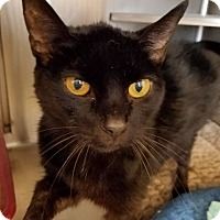 Domestic Shorthair Cat for adoption in Lompoc, California - Marcie