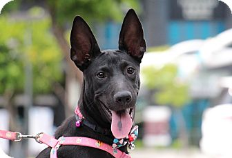 Dutch Shepherd/Canaan Dog Mix Puppy for adoption in San Francisco, California - Keely