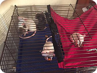 Rat for adoption in Philadelphia, Pennsylvania - BABY GIRL RATS IN DE!