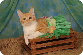 Domestic Shorthair Kitten for adoption in mishawaka, Indiana - Daisy