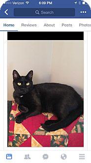 Domestic Shorthair Cat for adoption in Albany, New York - Amanda