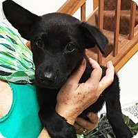 Adopt A Pet :: Benson-adoption pending - Schaumburg, IL