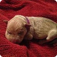 Adopt A Pet :: Purple(Violet) - Fayetteville, AR