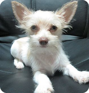 Chihuahua/Poodle (Miniature) Mix Puppy for adoption in Trenton, New Jersey - Kit