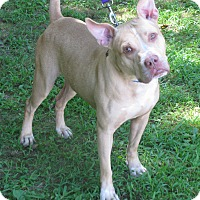 Pit Bull Terrier Mix Dog for adoption in Voorhees, New Jersey - Jammer