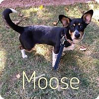 Adopt A Pet :: Moose - Milton, GA