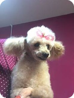 Poodle (Miniature) Dog for adoption in New York, New York - Leona
