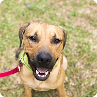 Black Mouth Cur Mix Dog for adoption in Houston, Texas - Raider