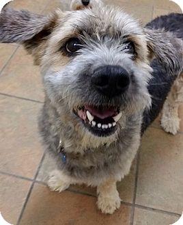 Petit Basset Griffon Vendeen Mix Dog for adoption in Portland, Oregon - Clive