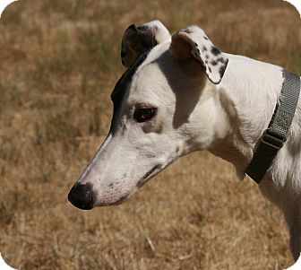 Greyhound Puppy for adoption in Portland, Oregon - Devan