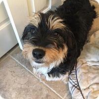 Adopt A Pet :: Bella HB - Schertz, TX