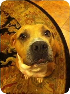 American Pit Bull Terrier Dog for adoption in Killen, Alabama - Honey Bee