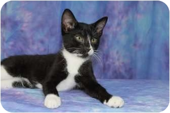 Domestic Shorthair Cat for adoption in Norwich, New York - Sami