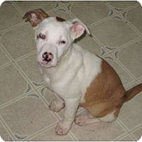 Adopt A Pet :: Stella - Philadelphia, PA