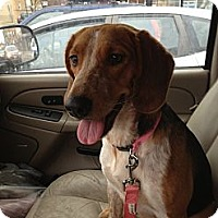 Adopt A Pet :: Candace - Glenview, IL
