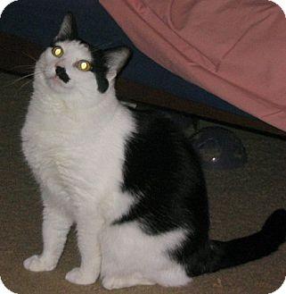 Domestic Shorthair Cat for adoption in San Antonio, Texas - Coco Chanel
