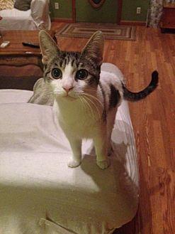 Domestic Shorthair Kitten for adoption in Brooklyn, New York - Honeybun