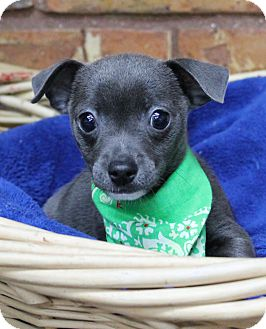 Chihuahua Mix Puppy for adoption in Benbrook, Texas - Jack