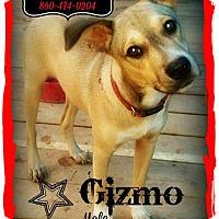 Adopt A Pet :: Gizmo meet me 10/3 - Manchester, CT
