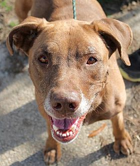 Pit Bull Terrier/Labrador Retriever Mix Dog for adoption in Memphis, Tennessee - Athena