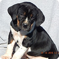 Adopt A Pet :: Piper (8 lb) - SUSSEX, NJ