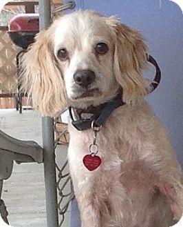 Cocker Spaniel Dog for adoption in Santa Barbara, California - Jingles