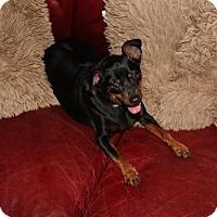 Adopt A Pet :: Dilan - tampa, FL