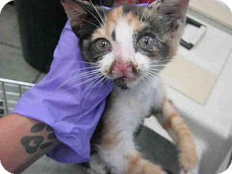Domestic Mediumhair Kitten for adoption in San Antonio, Texas - A385016
