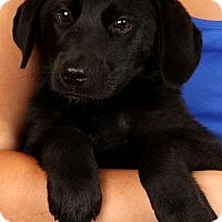 Adopt A Pet :: Holly(Willow) Labmix - St. Louis, MO
