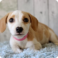 Adopt A Pet :: Josie - Waldorf, MD