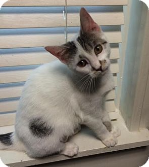 Domestic Shorthair Cat for adoption in Orlando, Florida - Tippy