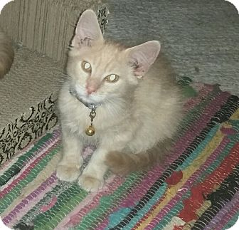 Domestic Longhair Kitten for adoption in Winterville, North Carolina - AUSTIN